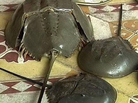 【ベトナム】カブトガニと間違えて…マルオカブトガニでの食中毒相次ぐ[06/14] [無断転載禁止]©2ch.net->画像>4枚