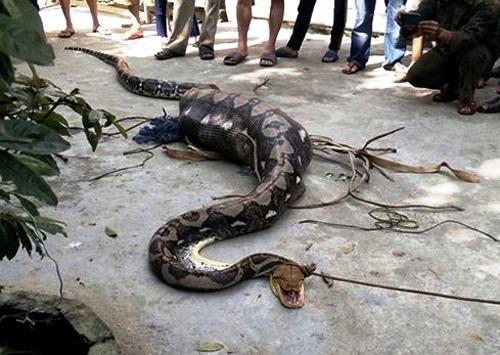 クアンナム省:子牛を丸呑みした大蛇、村民が捕獲